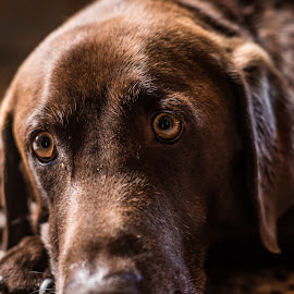 Eyes of Justice by Mark Franks - Animals - Dogs Portraits ( dog, lab, eyes,  )
