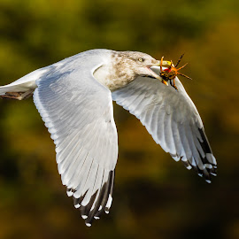 Gull with Crab Wings Down by Carl Albro - Animals Birds ( bird, flying, gull, seagull, wings, crab, bif,  )