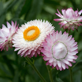Pink and White by Anatoliy Kosterev - Flowers Flower Gardens ( macro, flowers, plants, flower closeup, garden )
