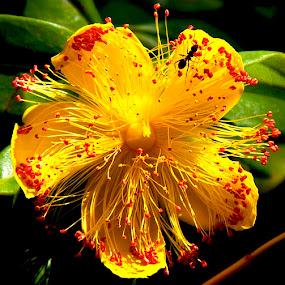 Yellow Flower by D. Bruce Gammie - Nature Up Close Flowers - 2011-2013 ( red, yellow, ant, garden, flower )