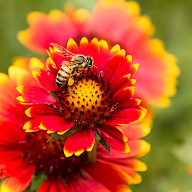 Busy little bee by Jess van Putten - Flowers Flower Gardens ( red, bee, plants, yellow, flowers )