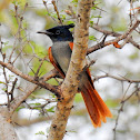 Indian paradise flycatcher- Female