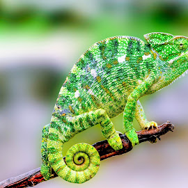 Green Chameleon by Faizan Hussain - Animals Reptiles ( wilderness, green, branch, nature up close, wildlife, reptile, chameleon )