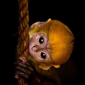 François' Langur youngster by Sebastièn Petri - Animals Other Mammals ( orange, francois, youngster, langur, monkey )