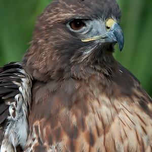 Hawk 009.jpg