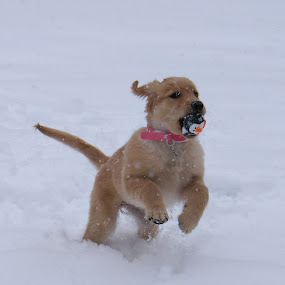 snow day1 by Tracy Marie - Animals - Dogs Playing