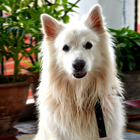 I CALL IT BREED MATTERS LOOK AT THE ATTITUDE ...  by Sushant Ojha - Animals - Dogs Portraits ( pwc84 )