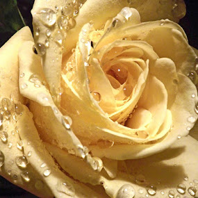 Yellow Rose by Colleen Legree - Nature Up Close Flowers - 2011-2013 ( rose, nature, yellow, waterdrops, flower )
