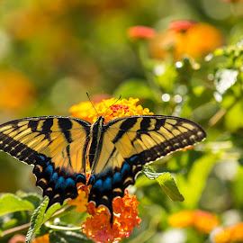 Butterfly by Rananjay Kumar - Animals Insects & Spiders ( canon, wild, butterfly, northcarolina, wings, beauty, usa )