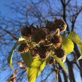 Erfrorene späte Himbeeren by Marianne Fischer - Nature Up Close Gardens & Produce