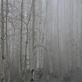 snow forest by Nick Sweeney - Landscapes Forests ( aspen grove, snow, trees, forest, aspen )