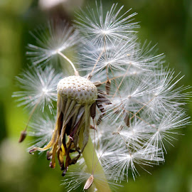 11 O'Clock by Glyn Lewis - Nature Up Close Other plants ( macro, nature, dandelion, close-up )