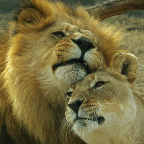 King and Queen by Jack Powers - Animals Other Mammals ( wildlife, lions, kansas, wichita )