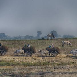 Framers in Myanmar by Jeece Gallay - Landscapes Prairies, Meadows & Fields ( farmers, myanmar, cows, fiels )