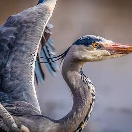 Mr Beaky by Anthony P Morris - Animals Birds ( beaky, pinkhill, anthony morris, greyheron, oxford, farmoor, grey, heron )