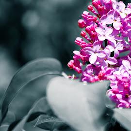 Lilacs by Andy Bigelow - Nature Up Close Other plants ( #vividcolor #lilacs #colorsplash #flowers #pink, #purple )
