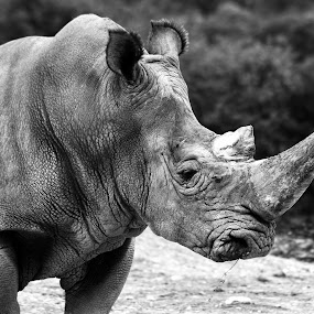 rhino by Cristobal Garciaferro Rubio - Animals Other Mammals ( b/w, big mammal, big animal, rhino )