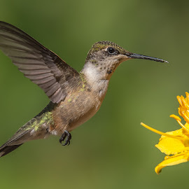 Thinking About It by Roy Walter - Animals Birds ( wild, hummingbird, wildlife, garden, animal )