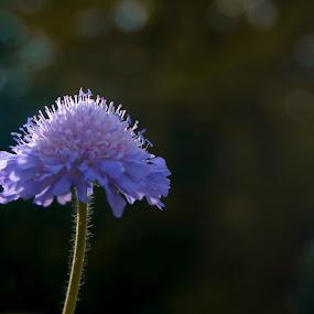 by Bojan Berce - Flowers Single Flower