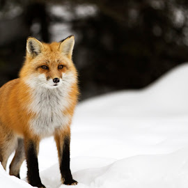 Red Fox by D Marwood - Animals Other Mammals ( canine, fox, canada, wildlife, algonquin park, natural habitat, red fox )
