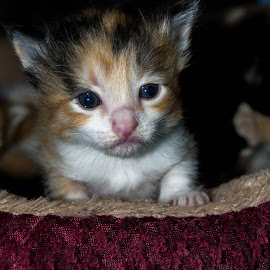Where is my mom by Andrew Wilson - Animals - Cats Kittens ( calico, cuteness, kitten )
