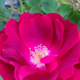 Close up of rose by Kathy Dee - Instagram & Mobile iPhone ( rose, macro, red, petals, green, beautiful, bush, iphone, garden, butanical, flower, outside, up, close )