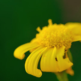 Macro_Flower by Sufyan Al-Shatshat - Abstract Macro ( macro, green, 105mm, d7100, nikon d, yellow, nikon, flowers, nikond, flower )