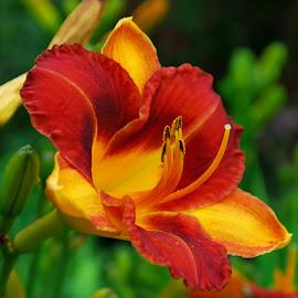 by Elena Stanescu-Bellu - Flowers Flower Gardens ( orange, warm, lily, colors, green, yellow, garden )