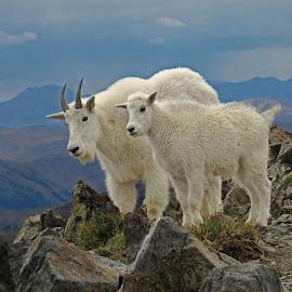 Nanny and kid by Marko Ginsberg - Animals Other Mammals ( mountain goat, kid, nanny )