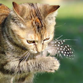 Abby and feather by Steve Berry - Animals - Cats Playing ( kitten, cat, playful, feather, closeup, guineafowl feather )