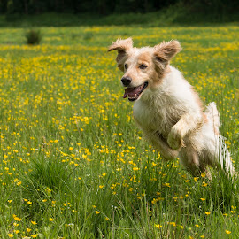 Through the fields of gold by Dubravka Krickic - Animals - Dogs Running ( yellow flowers, playing, croatia, cute, dog, running,  )
