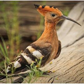 Hoopoe Bird by Dirk Luus - Animals Birds ( bird, nature, hoopoe, brown, animal )