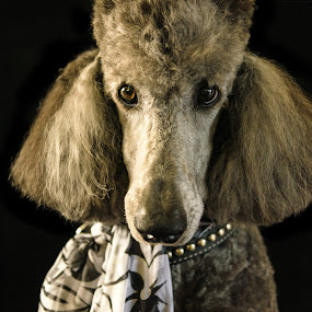 Wallace by Laurie King - Animals - Dogs Portraits ( pet portrait, poodle, standard, silver, dog )