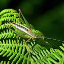 Macedonian Bright Bush-cricket