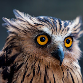 the OWL by Aluda Tan - Animals Birds ( bird, wild, outdoor, depth of field, owl, wildlife, animal )
