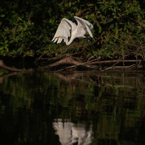Flying by Cristobal Garciaferro Rubio - Animals Birds ( water, flying, reflections, heron, great egret )