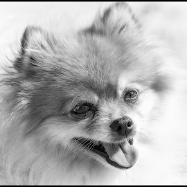 Pomeranian by Dave Lipchen - Black & White Animals ( pomeranian )