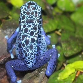 Blue Frog by Richard Crosier - Animals Amphibians ( nature, blue, frog, wildlife, landscapes )