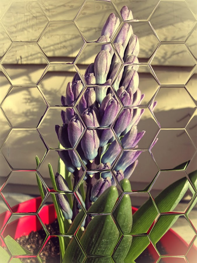 Hyacinth by Johnny Knight - Flowers Flower Buds ( nature, petals, flora, outdoors, gardening, morning, pretty, spring, floral, flower )