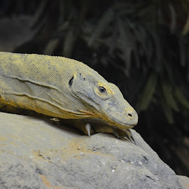 Stare Down... by Richard RJ Johnson - Animals Reptiles ( reptiles, zoo,  )