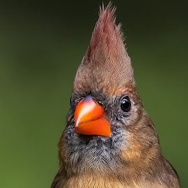 Northern Cardinal (female) by Shutter Bay Photography - Animals Birds ( color, nature, northern cardinal, cardinal, birds, portrait, bird photogaphy,  )