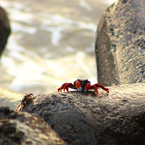 Crab on Sea by Sudipta Mukhopadhyay - Animals Insects & Spiders