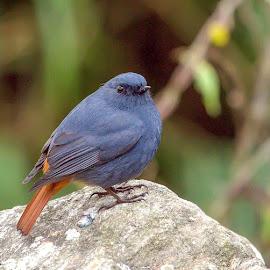 Plumbuous Water Redstart by S Balaji - Animals Birds