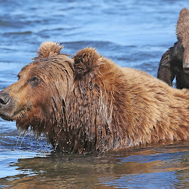 Can i have a ride Mom? by Anthony Goldman - Animals Other Mammals ( water, bear, wild, crossing, predator, nature, lake clark, wildlife, btown, cub, mom, mammal )
