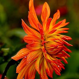 La magnificence du dalhia by Gérard CHATENET - Flowers Flower Gardens