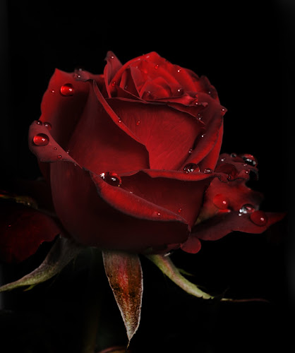 Dark Red Rose by Cristobal Garciaferro Rubio - Nature Up Close Flowers - 2011-2013 ( flwoers, dark red red rose, drop, drops, roses, flower )