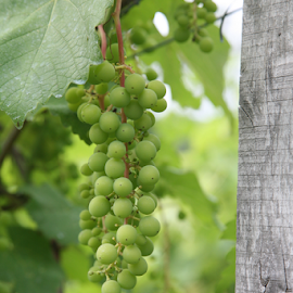 Grapes by Alec Halstead - Nature Up Close Gardens & Produce (  )