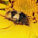 Bumble Bee Mimic Flower Scarab