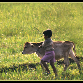 child with cattle returns Home at evening by Abhishek Mandal - Babies & Children Toddlers ( child, indian boy, cattle, bengal, villegers )