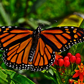 Monarch by David Winchester - Animals Insects & Spiders
